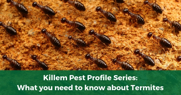 Killem Pest Profile Series: What you need to know about Termites