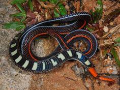 Snakes - Banded Malayan Coral Snake
