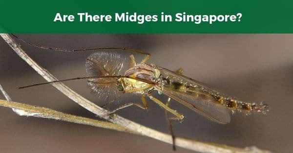 midges in Singapore