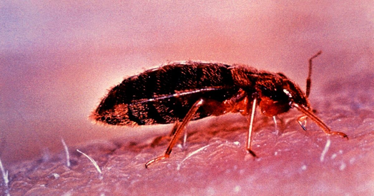 what you need to know about bed bugs
