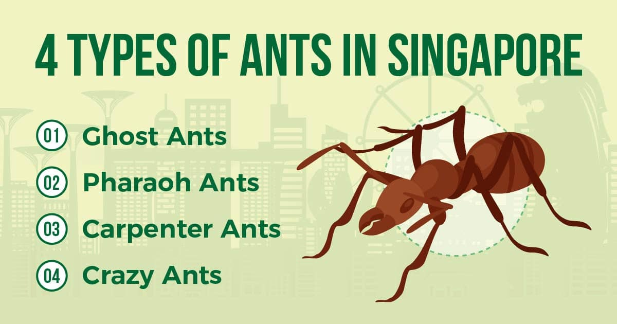ant species in singapore